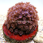 ORA® Marshall Islands Goniopora Coral, Blue (click for more detail)