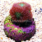 DFS Red and Green Blastomussa Merletti Coral  (click for more detail)