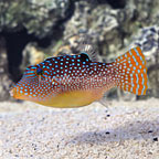 Orange Tail Papuan Toby Puffer (click for more detail)