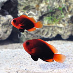 ORA® Naked Cinnamon Clownfish (Bonded Pair) (click for more detail)