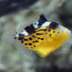 Blueline Triggerfish Juvenile (click for more detail)