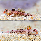 ORA® Captive-Bred Red Scooter Dragonet (Select Pair) (click for more detail)