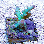 TCN Piglet Tenuis Acropora Coral (click for more detail)