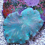 ORA® Cabbage Leather Coral (click for more detail)