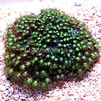 Reef Gen Justin Credabel's Astroturf Goniopora Coral (click for more detail)
