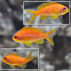 Maldives Lyretail Anthias (Female Trio) (click for more detail)