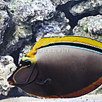 Blonde Naso Tang with Streamers (click for more detail)