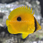 Zanzibar Butterflyfish [Expert Only] (click for more detail)