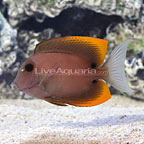Flamefin Tomini Bristletooth Tang (click for more detail)