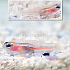ORA® Masked Goby (Bonded Pair) (click for more detail)