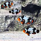 Sanjay's Ultra Snowflake Black Photon Clownfish (Bonded Pair) (click for more detail)