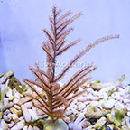Cultured Yellow Bipinnate Sea Fan (click for more detail)