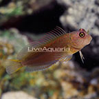 Filamentous Blenny (click for more detail)