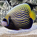 Emperor Angelfish Adult (click for more detail)