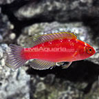 Rose-Band Fairy Wrasse Initial Phase  (click for more detail)