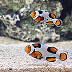 ORA® Premium Picasso Clownfish (Bonded Pair) (click for more detail)