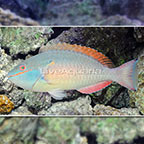 Redband Parrotfish  (click for more detail)
