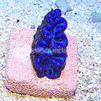 Micronesian Cultured Maxima Clam Ultra Blue/Turquoise (click for more detail)