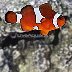 ORA® Misbar Blood Orange Clownfish Hybrid (Single) (click for more detail)
