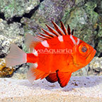 Japanese Big Eye Soldierfish (click for more detail)