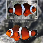 ORA® Blood Orange Clownfish Hybrid (Single) (click for more detail)