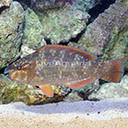 Rainbow Parrotfish Initial Phase (click for more detail)