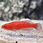 Red Tail Flasher Wrasse Initial Phase (click for more detail)