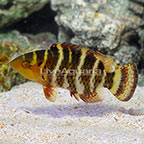 Red Breast Wrasse (click for more detail)