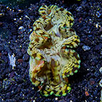 Micronesian Cultured Squamosa Clam (click for more detail)