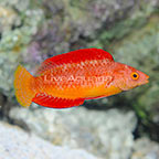 Red Fin Fairy Wrasse Super Terminal Phase Male (click for more detail)