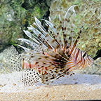 Volitan Lionfish (click for more detail)
