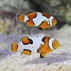 ORA® Captive-Bred Picasso Percula Clownfish (Bonded Pair) (click for more detail)