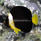 False Personifer Angelfish Juvenile (click for more detail)