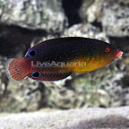 Yellowchest Twist Wrasse (click for more detail)