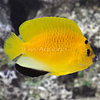 Flagfin Angelfish  (click for more detail)
