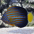Blueline Angelfish Adult (click for more detail)