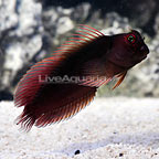 Scarface Blenny (Blemished) (click for more detail)
