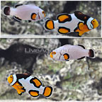 ORA® Picasso x Platinum Percula Clownfish (Retired Broodstock Pair) (click for more detail)