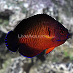 Coral Beauty Angelfish Purple Morph (click for more detail)