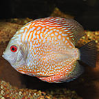 Snakeskin Pigeon Blood Discus (click for more detail)