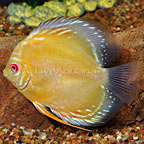 Albino Golden Discus (click for more detail)