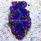 Micronesian Maxima Clam Ultra Blue/Purple (click for more detail)