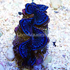 Cocos Cultured Maxima Clam Blue (click for more detail)