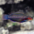 Four Line Wrasse (click for more detail)