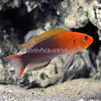 Galaxy Dottyback Male (click for more detail)