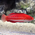 Redfin Fairy Wrasse Terminal Phase Male (click for more detail)