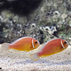 ORA® Pink Skunk Clownfish (Retired Broodstock Pair) (click for more detail)