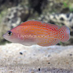 Red Dot Dottyback Male (click for more detail)