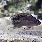 Whitetail Dottyback (click for more detail)