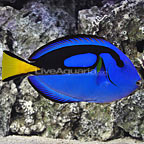 Extra Large Blue Tang (click for more detail)
